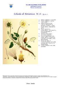 Dryas octopetala fg. 2