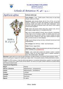 Scheda di Botanica n. 46 Euphrasia alpina fg. 1 - Piera, Emilio