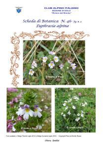 Scheda di Botanica n. 46 Euphrasia alpina fg. 3 - Piera, Emilio
