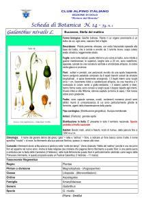 Galanthus nivalis fg. 1