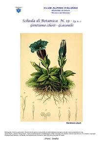 Gentiana fg. 3