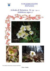 Helleborus niger fg. 3