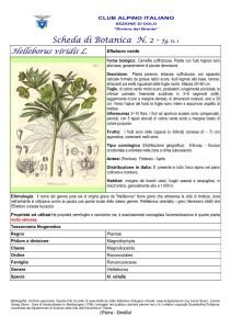 Helleborus viridis fg. 1