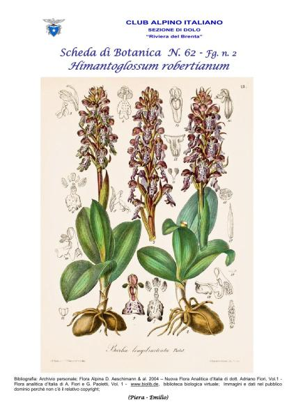 Scheda di Botanica N. 62 Himantoglossum robertianum fg.2 - Piera, Emilio