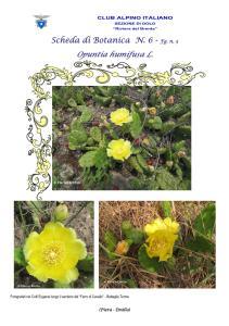 Opuntia humifusa fg. 3