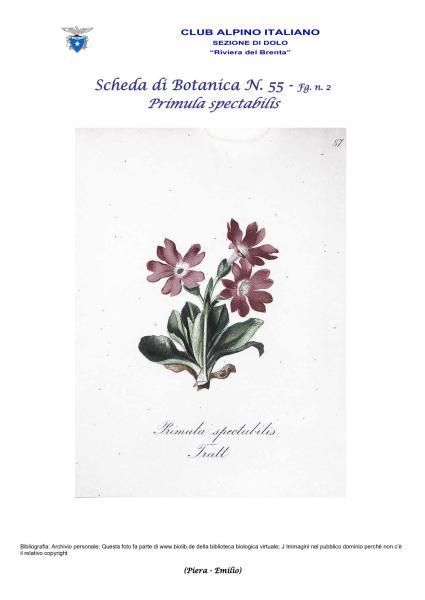 Scheda di Botanica n. 55 Primula spectabilis fg 2 - Piera, Emilio