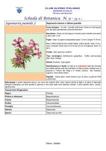 Saponaria pumila fg. 1