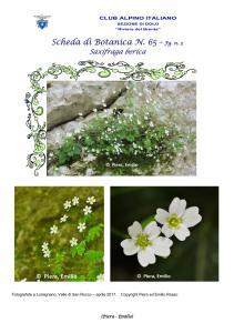 Scheda di Botanica n. 65 Saxifraga berica fg. 3 - Piera, Emilio