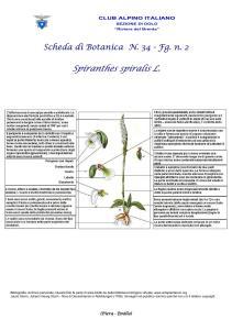 Scheda di Botanica n. 34 Spiranthes spiralis - 2 - Piera, Emilio
