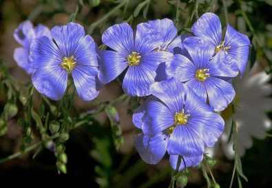 floare de in