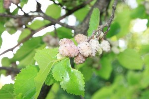 Morus-Alba_White-Mulberry-Fruit__2419IMG_9008-480x320