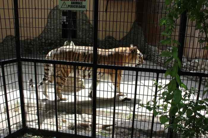 tigru grădina zoologică