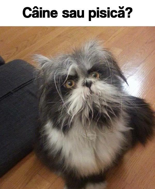 caine sau pisica