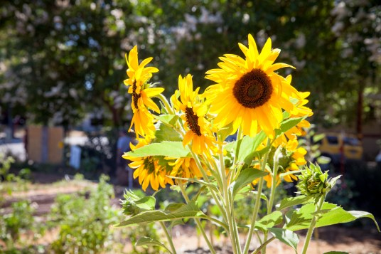 2016-07-12 Youth Jobs - Bayer Sunflower Restore-89