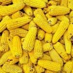 MINAGRI desarrolla maíz con capacidad de incrementar producción por hectárea