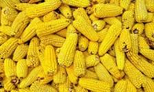 Foto de <MINAGRI desarrolla maíz con capacidad de incrementar producción por hectárea