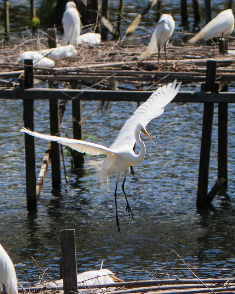 Edward Avery McIlhenny created a sanctuary for the Snowy Egrets when these birds were nearly hunted to extinction for their plumage. More than a 100 years later, Bird City in Jungle Gardens still provides a nesting ground for the Snowy Egrets and other birds.