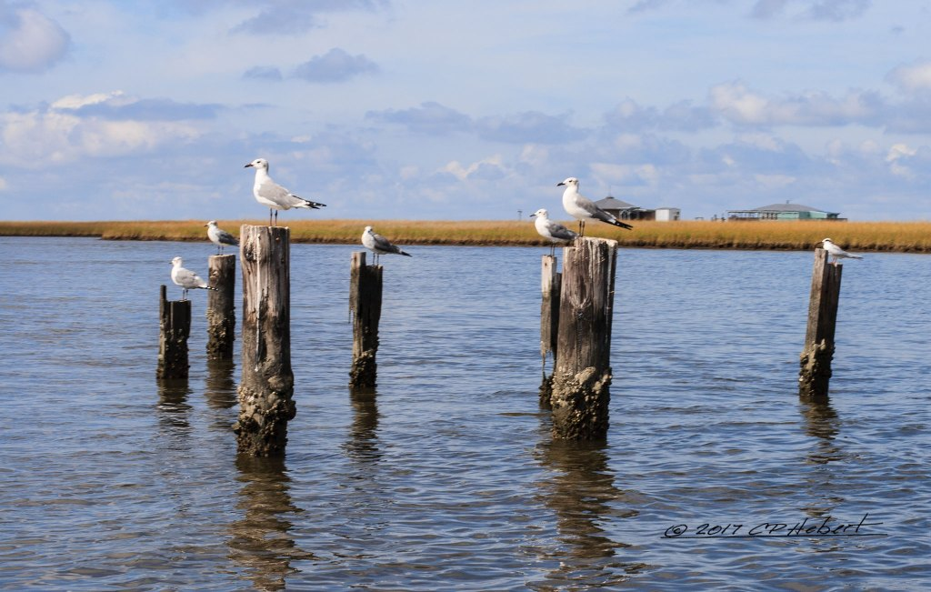 Seagulls scan the horizon at the edge of Lake Chien. After arriving back at the houseboat that evening, we find out that we should have tied up on these pilings and fished the bayou to the right. This is one of those times I chose to pick up my camera instead of a fishing pole.