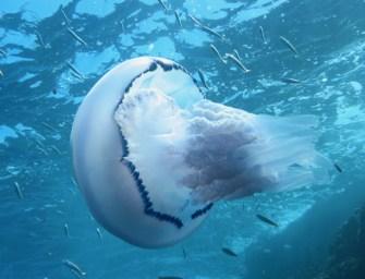 Ci sono meduse in Calabria? Ecco come difendersi