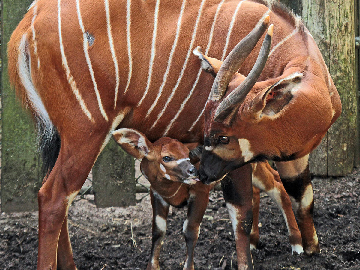 https://i1.wp.com/www.calacademy.org/sites/default/files/assets/images/Education_Images/TYE_Images/antelope_bongo_jokekok1200x900.jpg