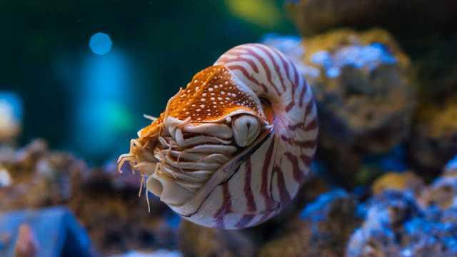 Chambered Nautilus | California Academy of Sciences