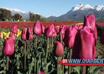 tulips-patagonia07
