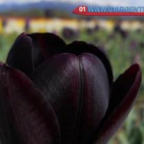 tulips-patagonia08