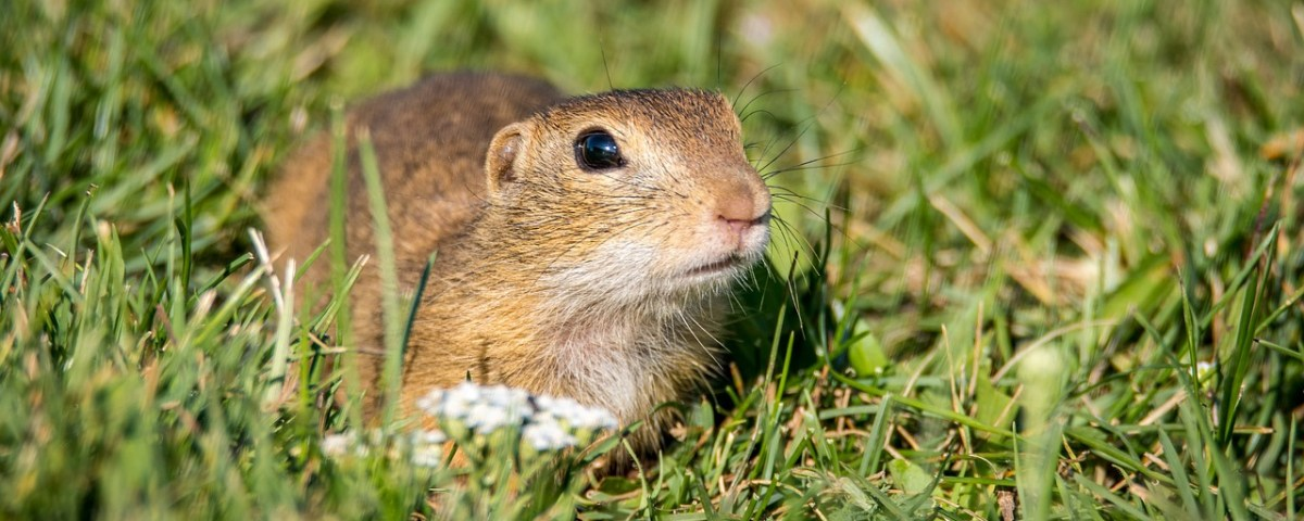 get rid of gophers