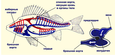 Для кровеносной системы рыб характерно - Топ Фото Приколы