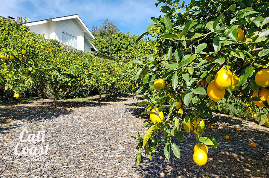 Meyer Lemon Grove at The Stonehouse at San Ysidro Ranch in Montecito