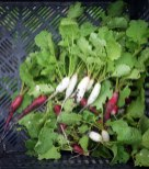 Pepper Creek Farms Radishes by Liz Dodder