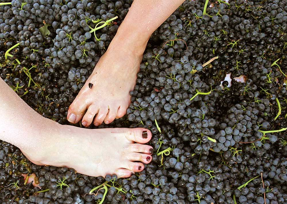 Grape Stomp in Santa Ynez Valley, Santa Barbara County, photo courtesy Solvang CVB