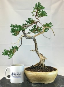 Dragon Juniper Bonsai
