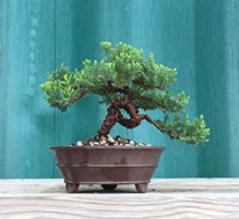beginner-bonsai-after
