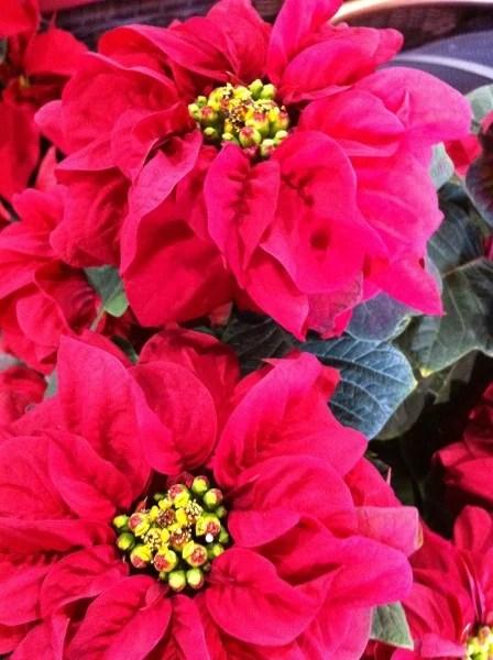 Poinsettias From The Paul Ecke Ranch In Encinitas