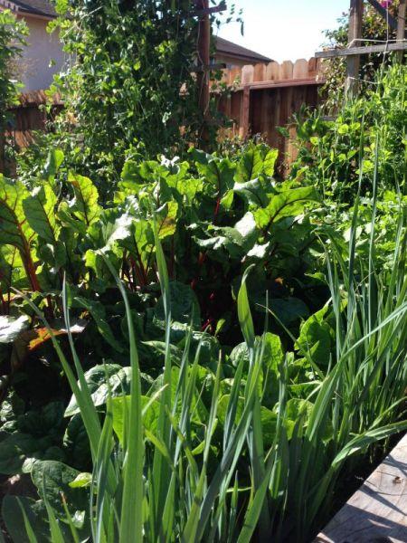 leeks in my garden