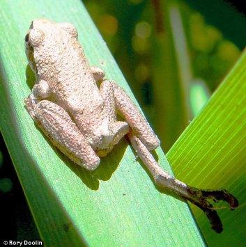 tree frogs,treefrogs,Sierran Chorus Treefrogs , Sea Ranch, Abalone Bay