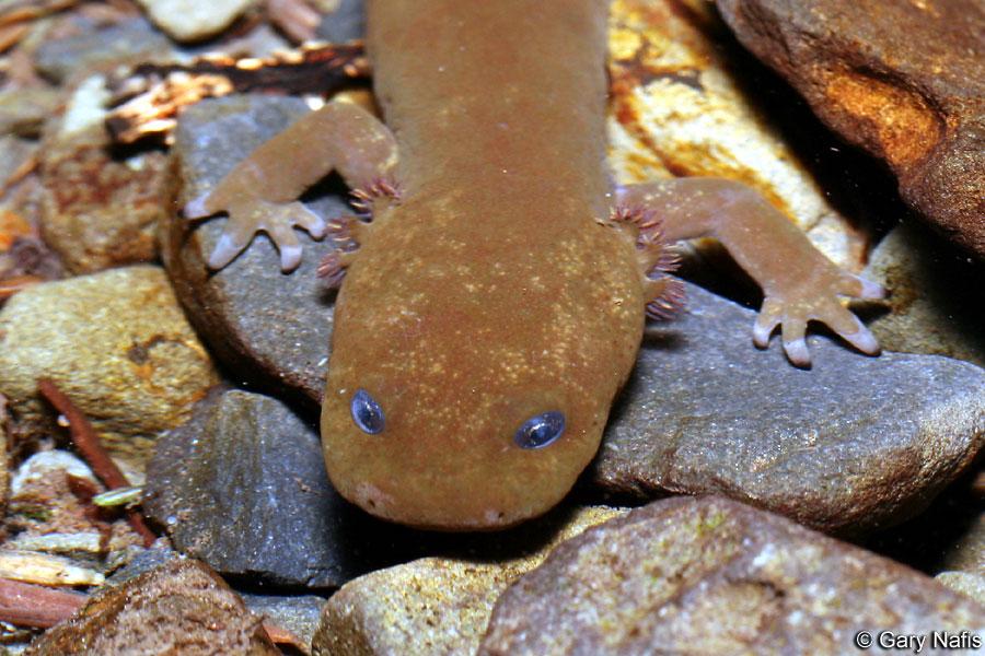 Salamander Copes Giant