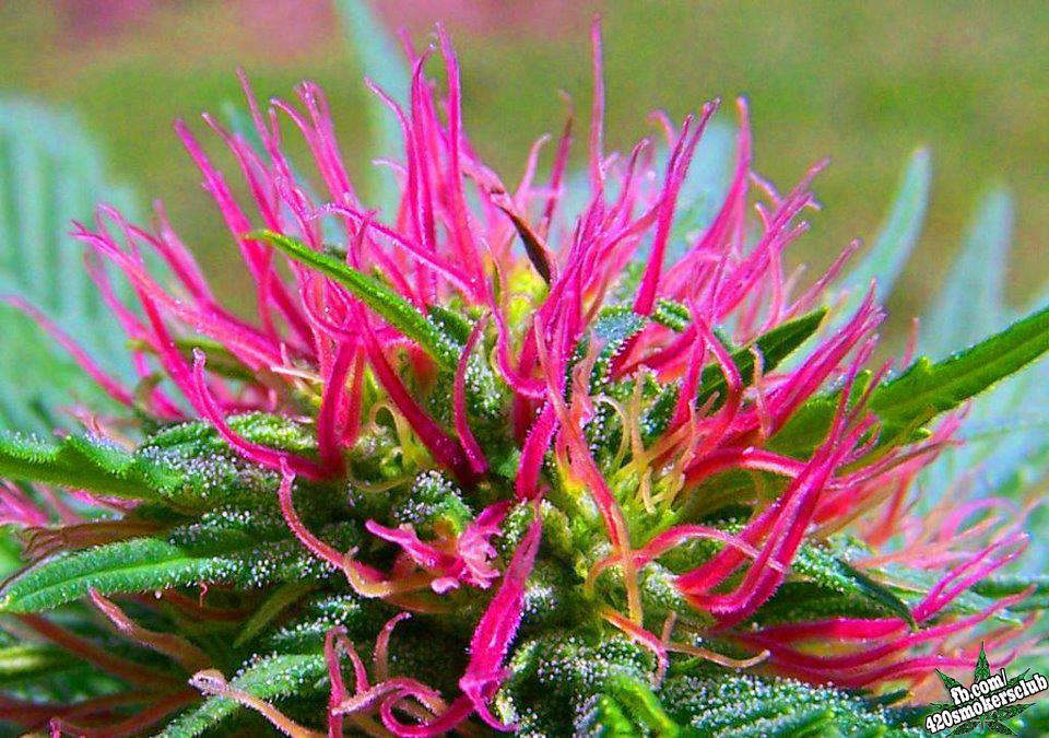 Image result for photos of plants in california growing marijuana