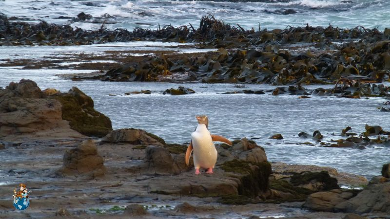 Pingüino ojigualdo en Curio Bay - The Catlins
