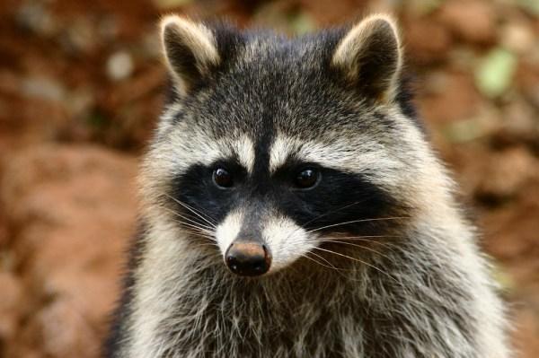 Raccoons - Identification | Environment | Threats | Treatment