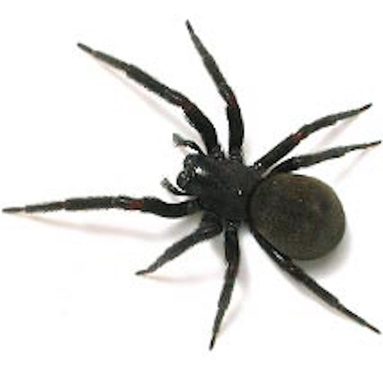 overhead view of a black house spider on a white background