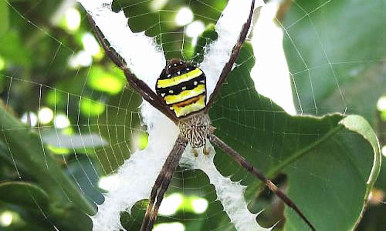close up of st andrews cross spider in the center of a web with a leafy background