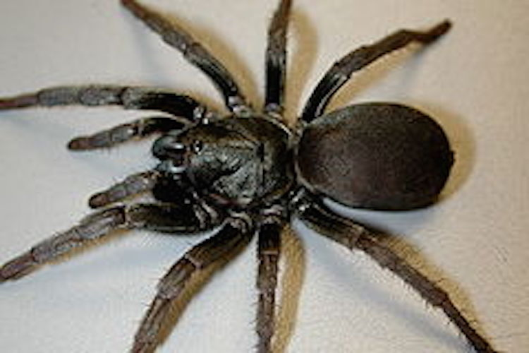 An overhead view of a trapdoor spider on a white background