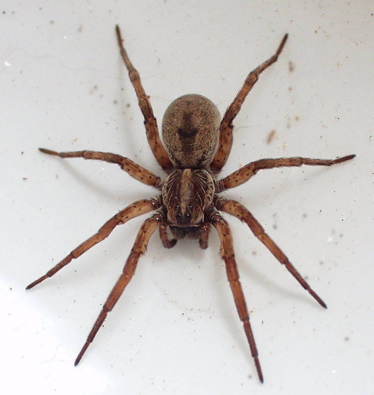 overhead view of a wolf spider on a speckled surface