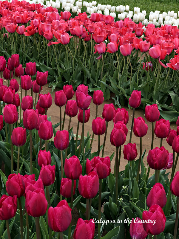 Pink Tulips at Festival