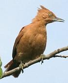 Caatinga woodpecker