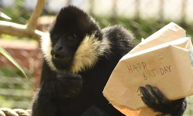 Jimmy the gibbon with presents