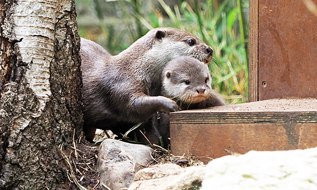 Otter pup and mum Mathilda