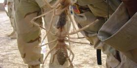 camel spider, labah unta, labah2 unta